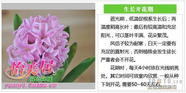 风信子土培方法图解_庭院/花园