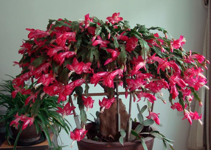 蟹爪兰的养殖方法 蟹爪兰花架和风水都有招